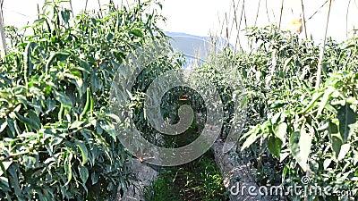 Pimenta de pimentão verde no jardim, cidade do Lat da Dinamarca, província de Lam Dong, Vietname filme