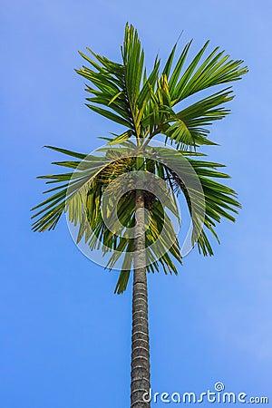 Pinang Palm Tree