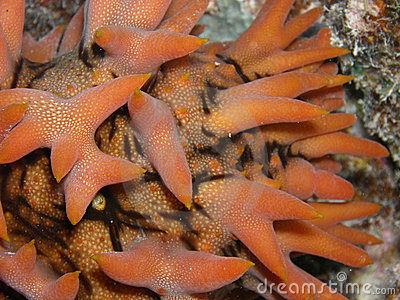 Pinaple Sea Cucumber