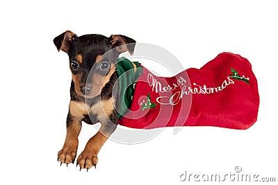Pincher puppy