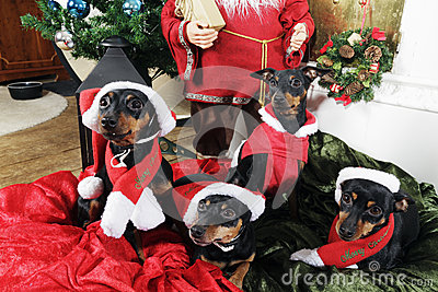 Pinchers, pets wishing merry christmas