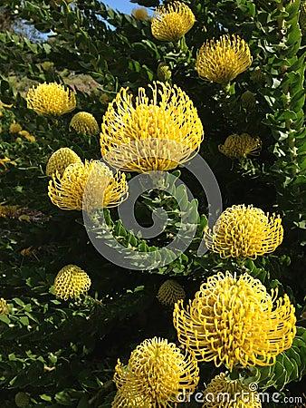 Free Pincushion Protea Stock Images - 104417754