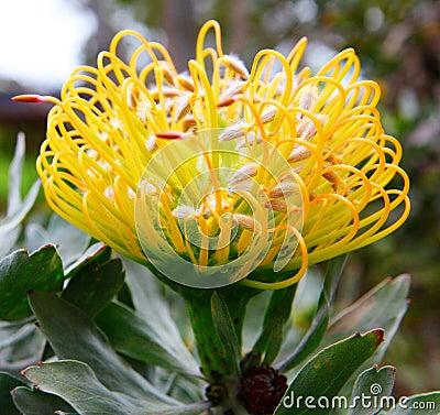 Free PIncushion Protea Royalty Free Stock Photos - 20322838