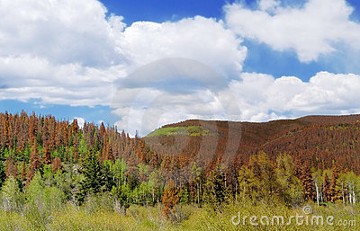 Pine Beetle Damage - Global Warming Concept