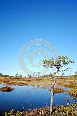 Pine on bog