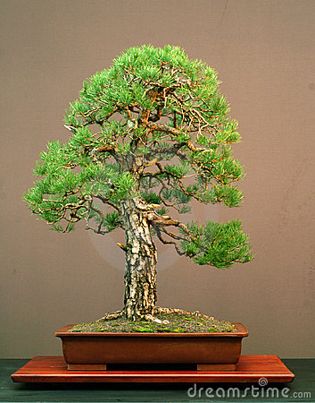 Free Pine Bonsai Stock Image - 1392451