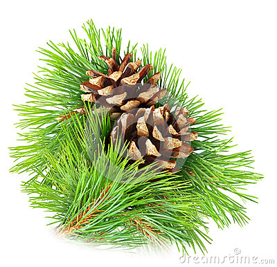 Free Pine Branch Royalty Free Stock Photo - 29624755