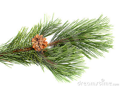 Pine branch with the cone