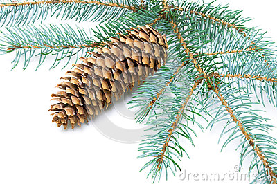 Pine branch with cone on white background