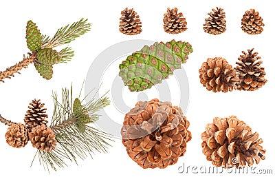 Pine branch cones