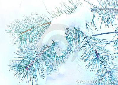 Pine branch covered snow