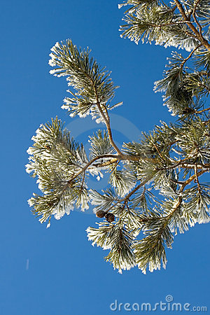 Pine branch with hoarfrost