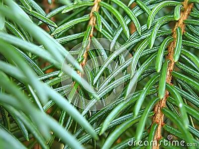 Pine Branch Macro