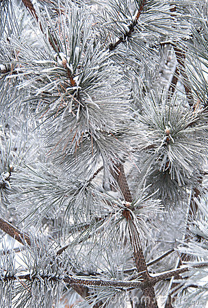 Pine branch and needles in snow