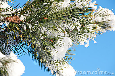 Pine branch in the winter