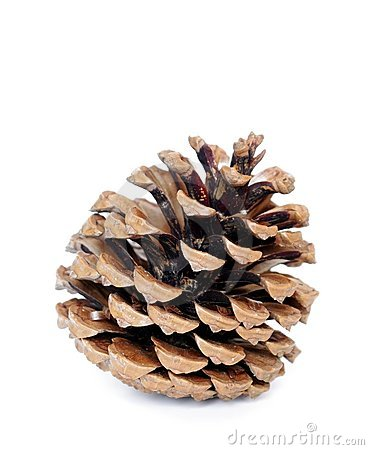 Free Pine Cone Stock Images - 19946544