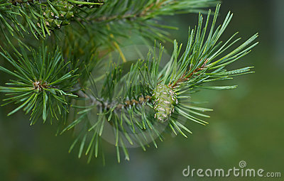Pine cone branch