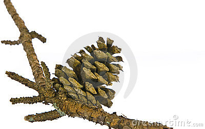 Pine cone on branch isolated
