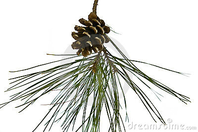 Pine cone on branch isolated on white