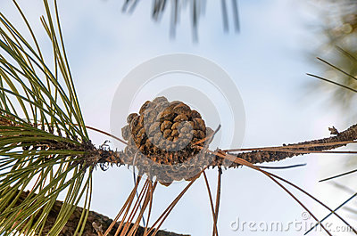 Pine cone on the branch