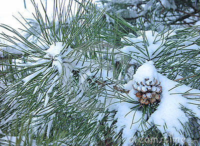 Pine cone covered in snow
