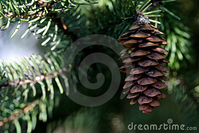 Pine Cone and Evergreen