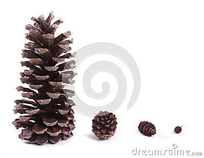 Pine Cone Evolution