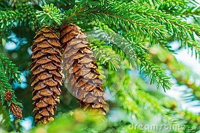 Pine cone hanging on the branch