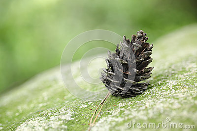 Pine cone on rock