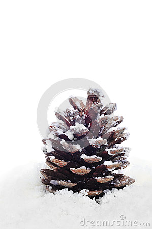 Pine cone on the snow