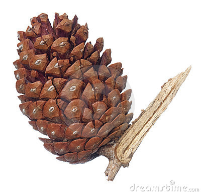 Pine cone on split branch