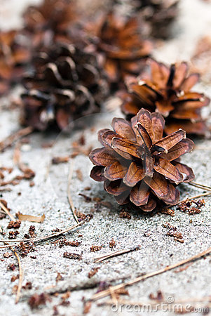 Free Pine Cones Royalty Free Stock Photography - 20032917