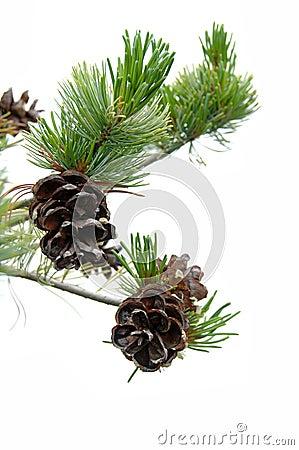 Free Pine Cones Royalty Free Stock Photos - 2561818