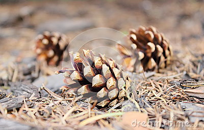 Pine cones on forest floor