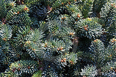 Pine cones hanging from the branches of an evergre