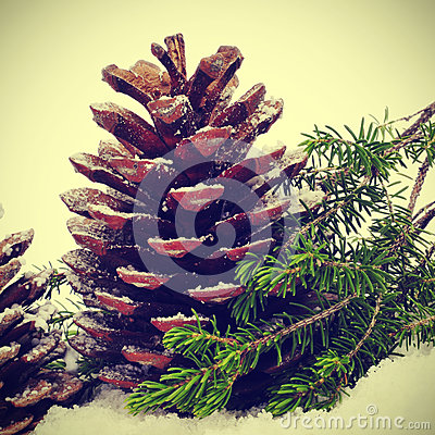 Pine cones on the snow