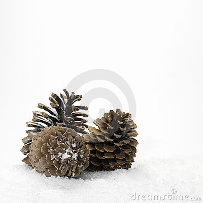 Pine cones in the snow