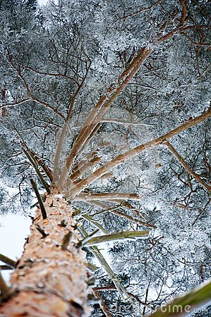 Pine covered by a snow