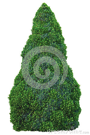 Free Pine Family Pinaceae Picea Glauca Moench Voss Sander Isolated Blue Conica White Spruce Tree, Young Sapling Large Detailed Closeup Royalty Free Stock Photos - 78955738