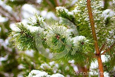 Pine, fir tree branches with snow