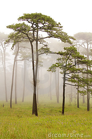 Free Pine Forest Royalty Free Stock Images - 21142709