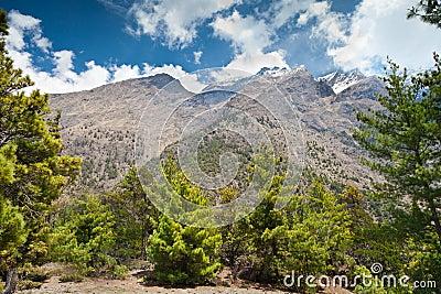 Pine forest in Annapurna trek