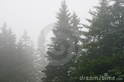 Pine forest in dense fog