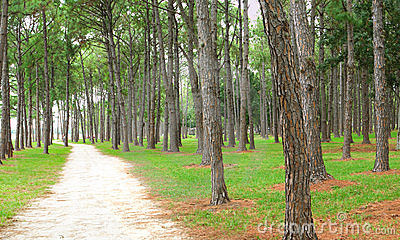 Pine forest and dirt path