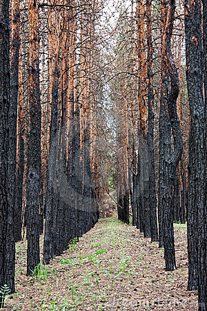 Pine forest after fire Stock Photo