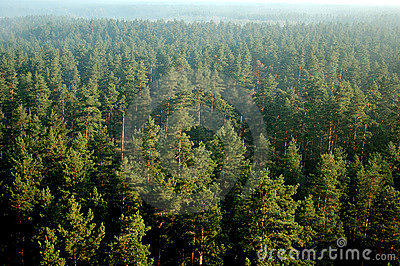 Pine Forest In Mist (aerial)27 Royalty Free Stock Images - Image: 1361379