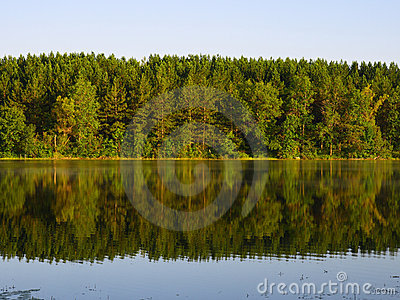 Pine forest reflection