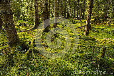 A pine forest with trees Stock Photo