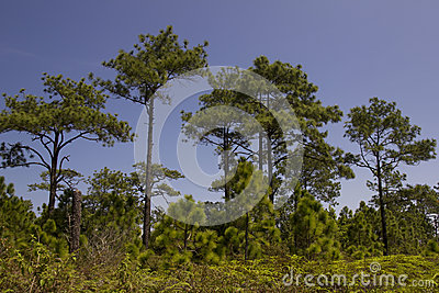 Pine forest under blue sky