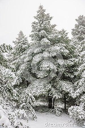 Pine forest under snow